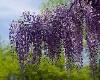 wisteria garden house
