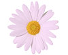 TF* Pink Daisy Flower