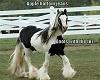 gypsy horse pic
