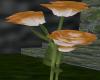 OrangetoWhite Rose