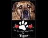 Tiger -In Loving Memory-