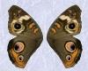 *P*Buckeye Butterfly