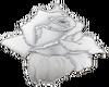 White Pearl Rose.1