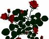 Huge Rose Bush