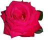 Dew Rose 01