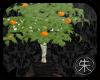 SR Manderian orange tree