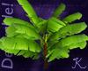 Tropical, Banana Plant