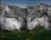 IvI Baby Wolf