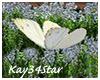White Field Butterfly