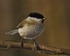kwik bird sounds