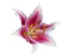 TF* Stargazer Lily