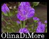 (OD) Mooria roses