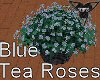 Blue Solitude Tea Roses