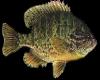 Realistic Pond Fish