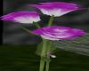 PurpletoWhite Rose