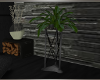 BRS! Celebration Plant