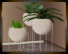 Bride's Trio Plant