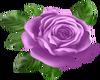 Lavender Rose.2