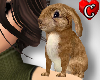 CC Bunny brown Pet