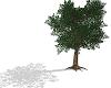 Oak Tree with shadow
