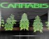 Weed Plants -Dispensary