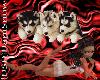 {DSD}Husky Puppies