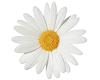 TF* White Daisy