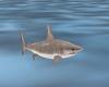 Animated Shark