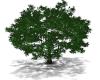 TEF GREEN SHADE TREE