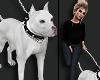 Dog PitBull White