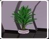 Purple Passion Plant 1
