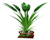 ST PATRICK'S CLUB PLANT