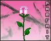 (*Par*) Pink Rose